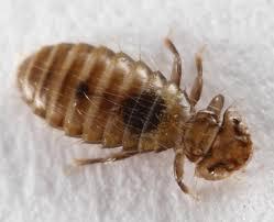 bird lice