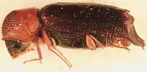 particoloured beetle